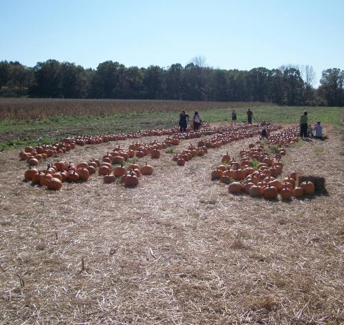 100 1699 East Coast Pumpkin Shortage Nearly Puts a Damper on Pumpkin Patch Fun