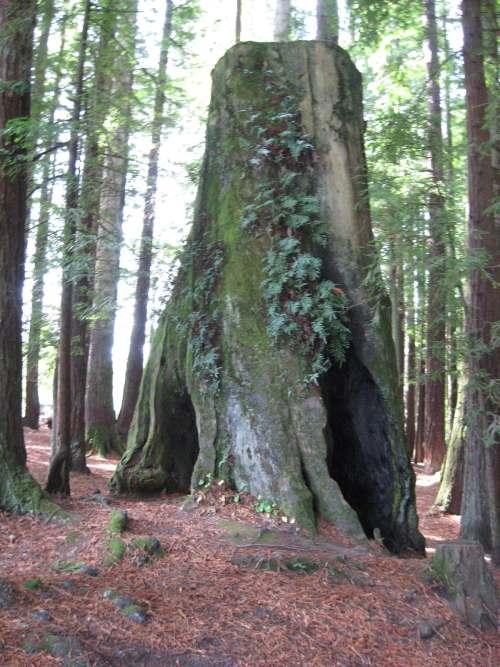 IMG 1557 Wordless Wednesday: Redwood Tree Stump