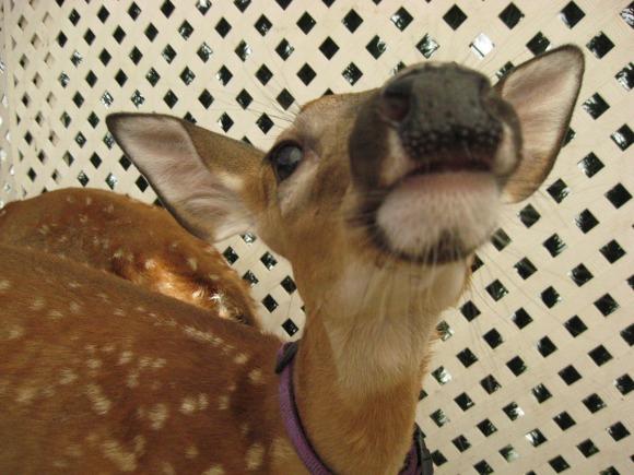 IMG 1443 Wordless Wednesday: Cute Baby Deer