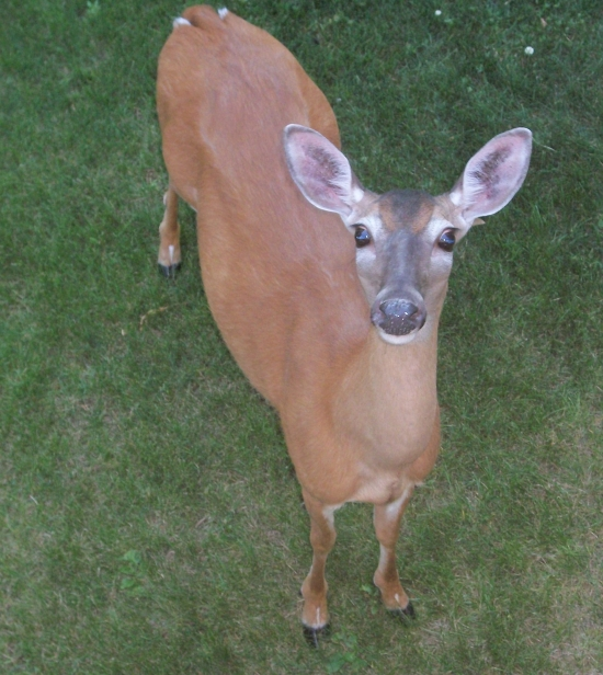 100 3436 Hello, Deer! Check out this adorable PA resident!