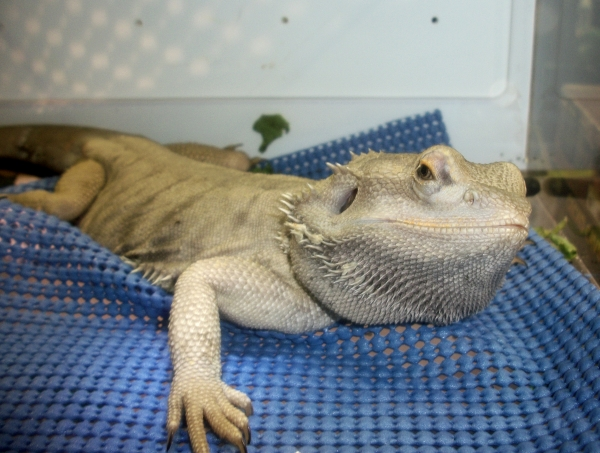 100 4554 Wordless Wednesday: Bearded Dragon Is Skeptical