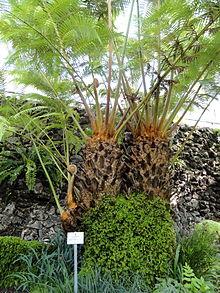 220px-Cibotium_barometz_-_Botanischer_Garten_München-Nymphenburg_-_DSC08046