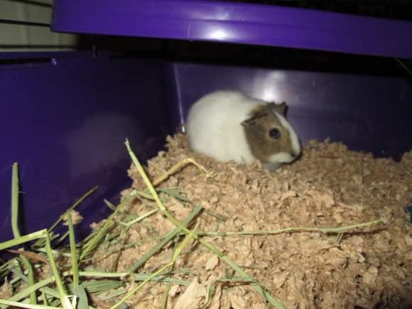 Krystal the Guinea Pig