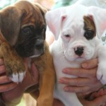 Find the Best Purebred Dog for Your Family with American Kennel Club