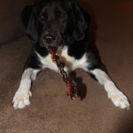 Treat Your Dog to the Very Best Bully Sticks