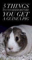 Consider Guinea Pig