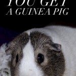 5 Things You MUST Know Before Getting a Guinea Pig
