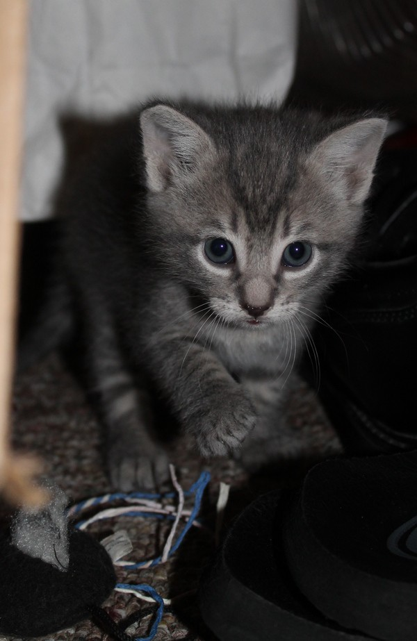 Stripes the Kitten is a total stalker! He needs a furever home with someone who loves to play!