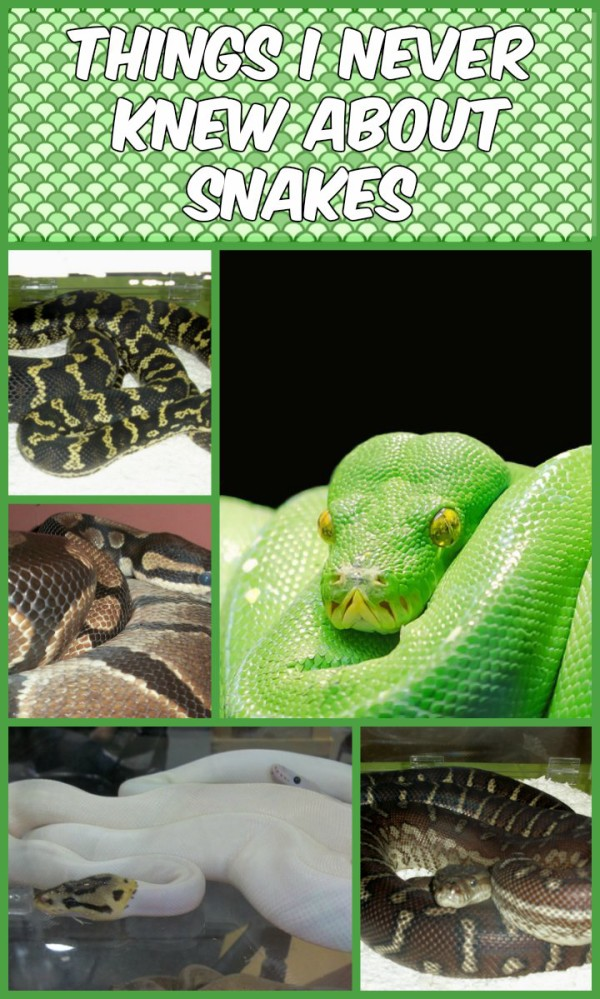 I learned so much about snakes ever since I started caring for Sess, my boyfriend's Ball Python. Come ditch your misconceptions and see if this is the right pet for you! Then get expert #ReptileCare tips from petMD!