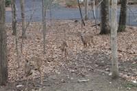 Cooper Tire Deer