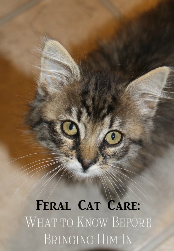 Bringing in a feral cat isn't quite as simple as going to your local animal shelter and picking up a kitty for adoption. If you're considering saving a feral, there are things you need to know before opening your door.