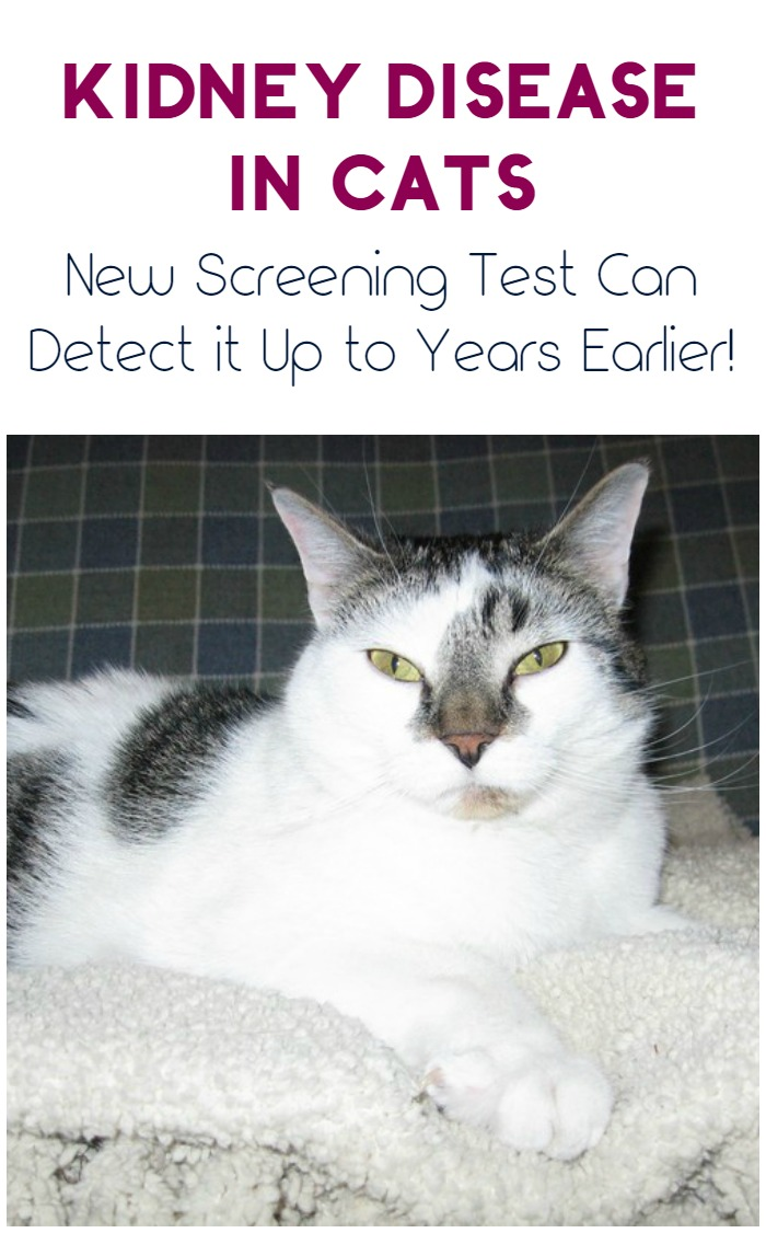 Kidney disease in cats is a serious condition that affects 1 in 3 kitties. Now, a new screening test can detect it up to years earlier, while there's still time to do something about it!