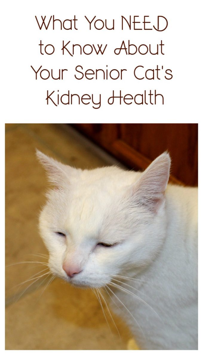 What You Need to Know About Your Senior Cat's Kidney Health #askyourvet