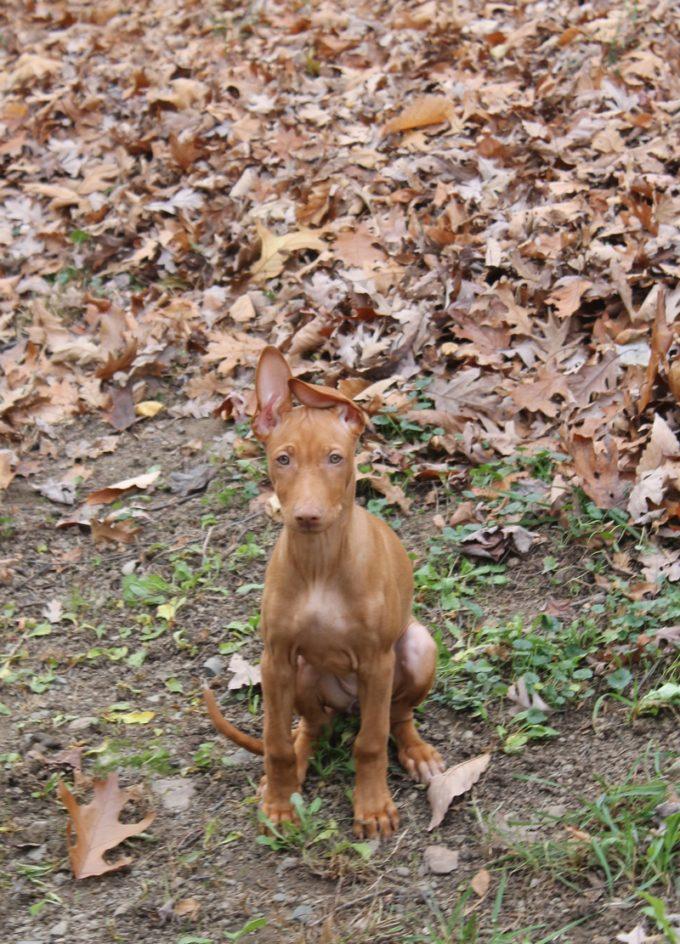 Meet Freya: My New Pharaoh Hound Puppy!