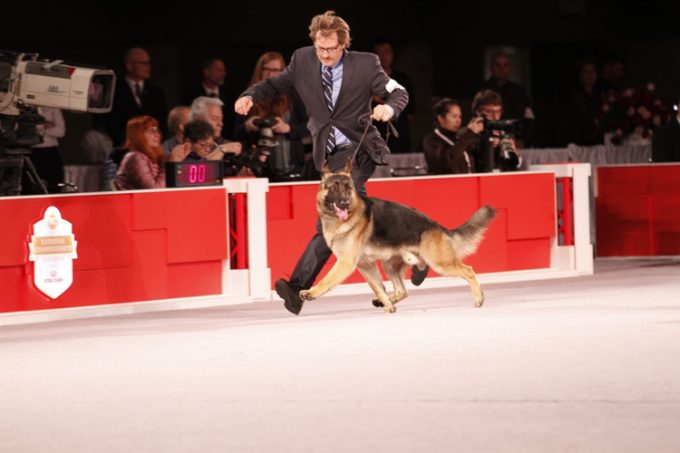 Dog Show Did You Know: 7 Fascinating Facts About Pharaoh Hounds