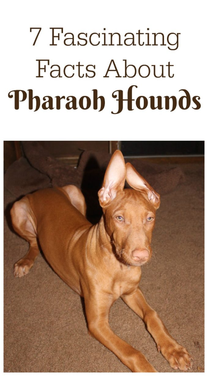 Check out 7 fascinating facts about Pharaoh Hound, the AKC's 176th most popular dog breed!