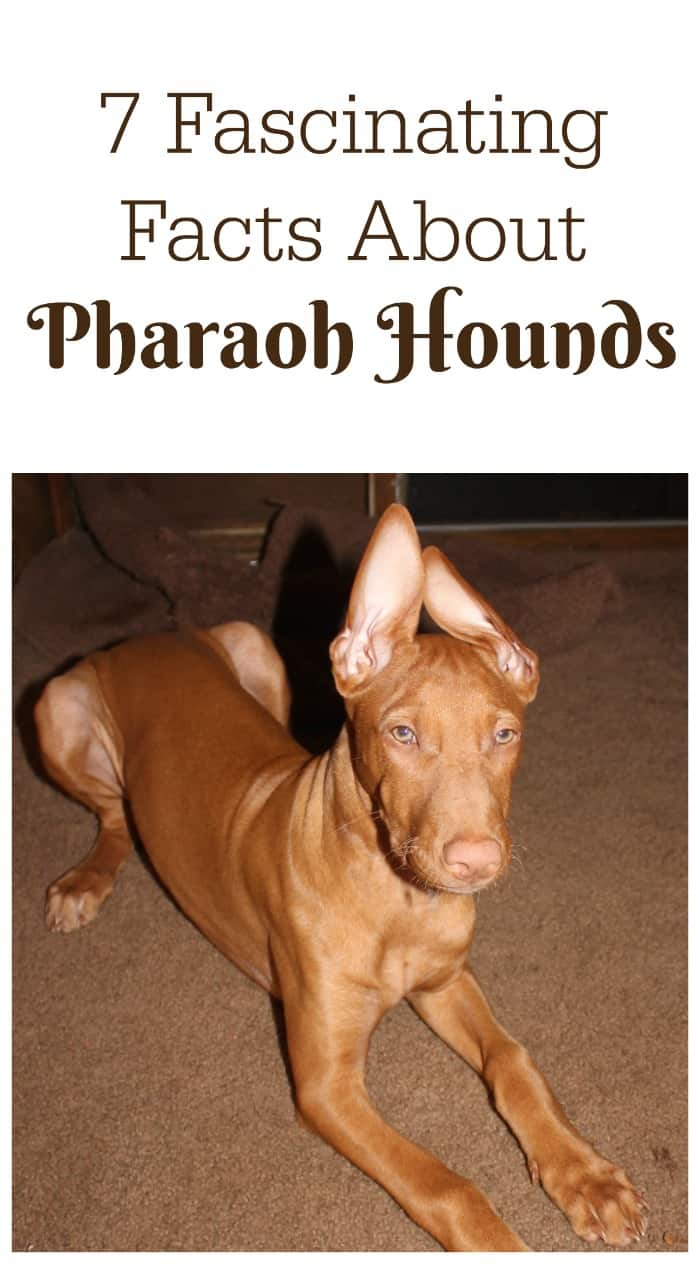 Check out 7 fascinating facts about Pharaoh Hound, the AKC's 176th most popular dog breed & one of the world's oldest domesticated dogs!