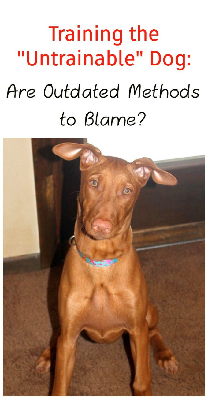 Untrainable dog? Maybe you're using the wrong method! Check out what I learned from PawCulture that helped me train my Pharaoh Hound!