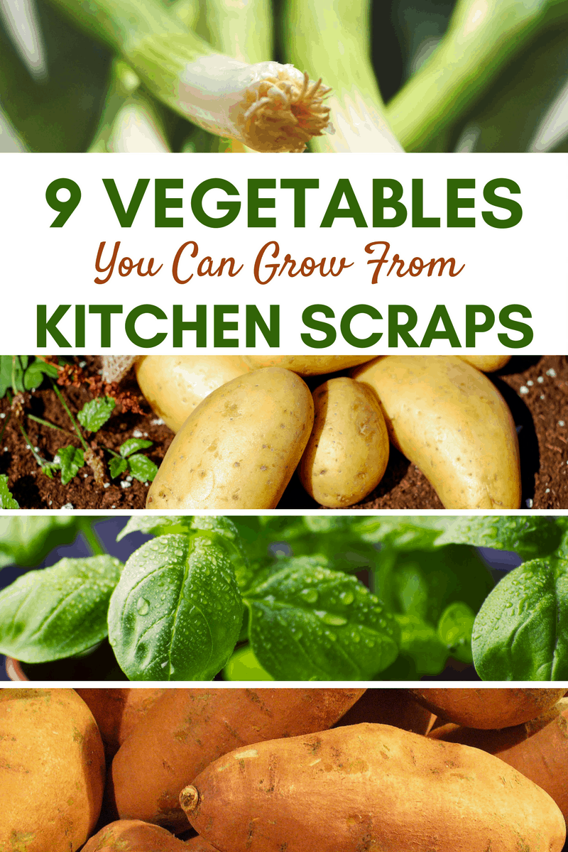 Grow vegetables straight from your kitchen scraps!  Use containers, pots or grow your veggie scraps straight in the ground! See our garden tips and ideas!