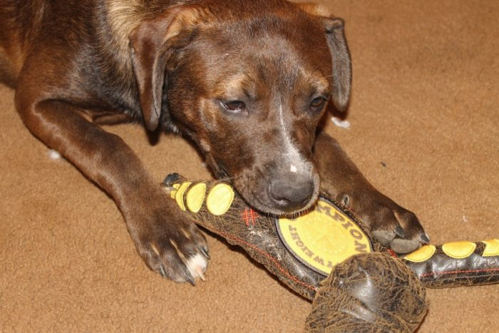 Mocha starting out Celebrate Your Dog's Inner Destroyer with BARK Destroyers Club!