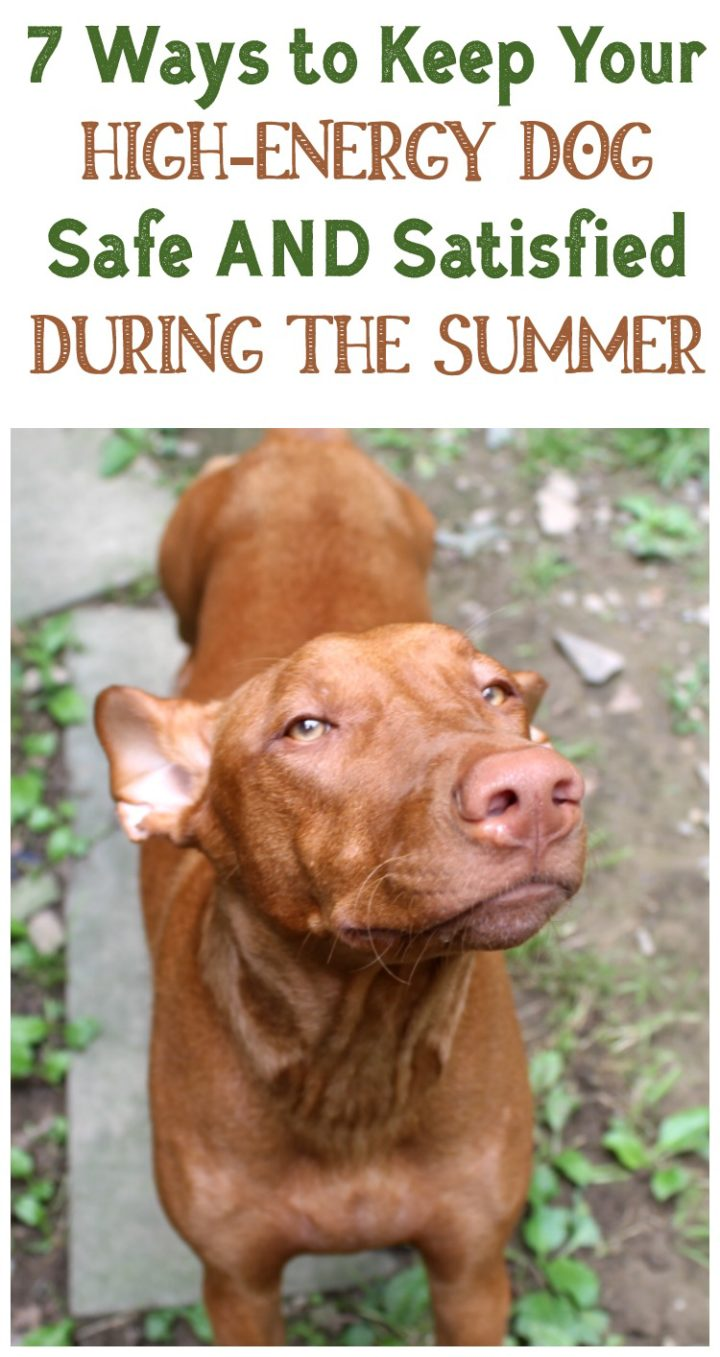How do you keep your high-energy dog safe AND satisfied on blazing hot summer days? Check out my tried and true tips that work with my extremely active Pharaoh Hound!