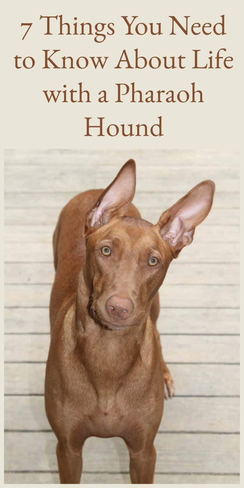 Thinking about getting a Pharaoh Hound? Make sure you\'re ready for the responsibility of owning the oldest dog breed! Check out 7 things you need to know!