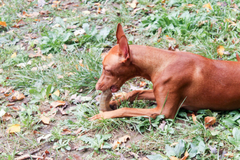How do you calm down a high-energy dog like my Pharaoh Hound in just one step? Hand her an Icelandic+ Lamb Horn Dog Treat!