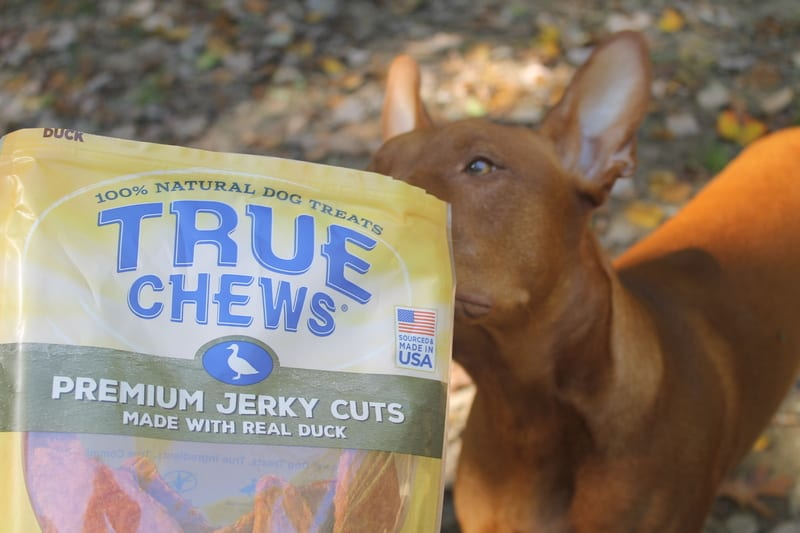 True Chews Freya Sniffing Raising Freya: A Day in the Life of a Pharaoh Hound Parent