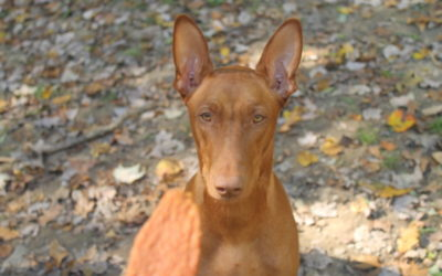 Complete Guide to the Pharaoh Hound Dog Breed (by Someone Who Actually Has One!)
