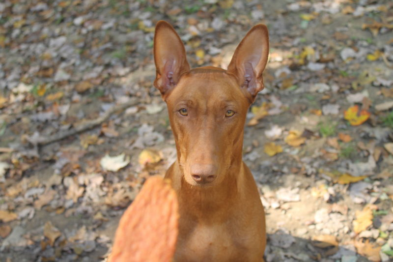 Life as a Pharaoh Hound parent is never boring! Follow along on my journey with Freya with this behind the scenes glance a day in her life!