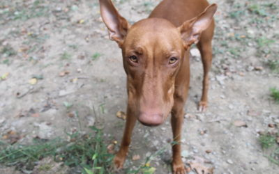 Raising Freya: A Day in the Life of a Pharaoh Hound Parent