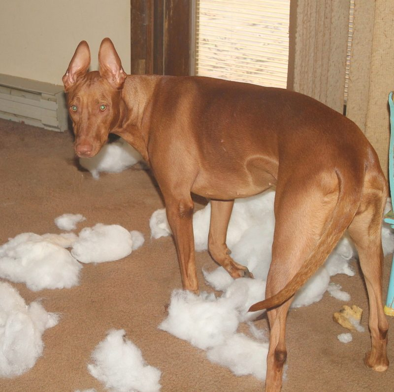 What happens when my Pharaoh Hound gets bored!