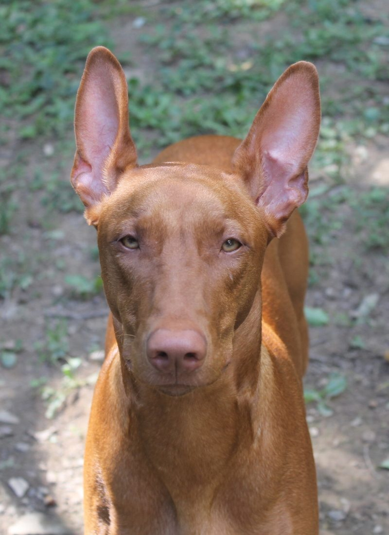 Guide to Pharaoh Hounds dog breed
