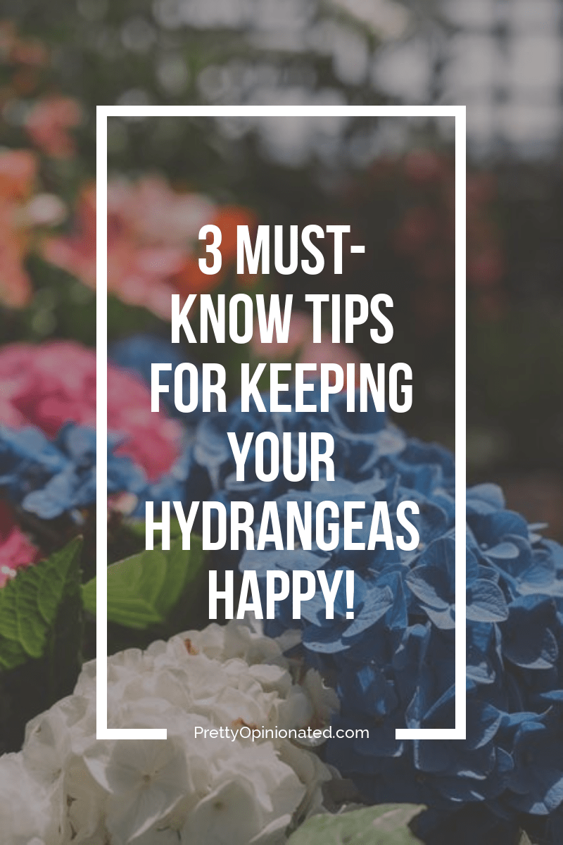 Want to keep those hydrangeas happy? Follow these 3 tips for well-meaning gardeners and you\'ll have gorgeous flowers in no time!