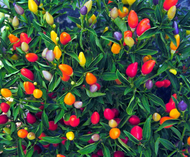 chili peppers 5 Edible Plants That Double as Decor