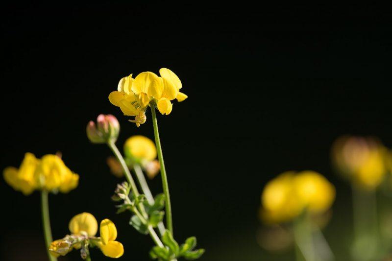 Fenugreek healing spice plant