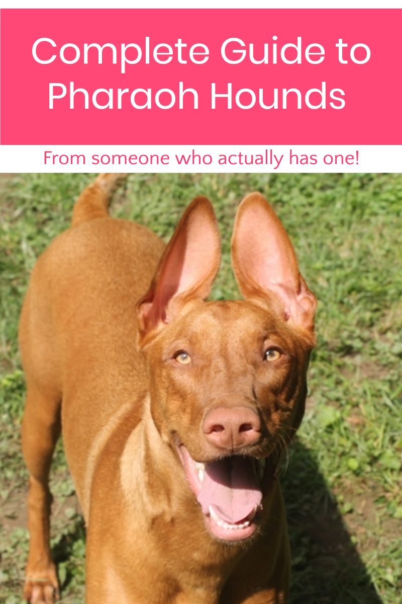 Want to know everything about the Pharaoh Hound dog breed from someone who actually has one? I've got you covered! Read on to learn the real facts about this outstanding ancient breed!