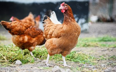 Chicken Owners Who Love Having Chickens Are Becoming Overladen With Eggs