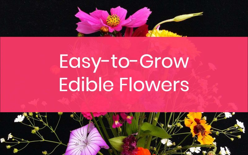 Easy to grow edible flowers for beginners.