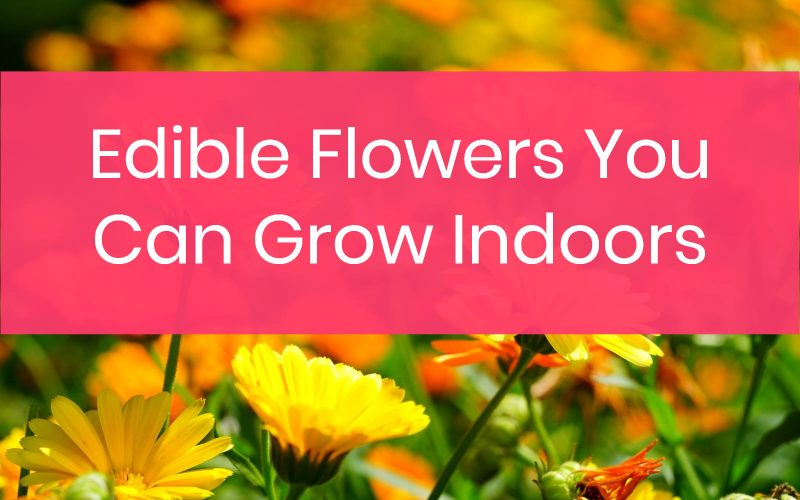 Edible Flowers You Can Grow Indoors