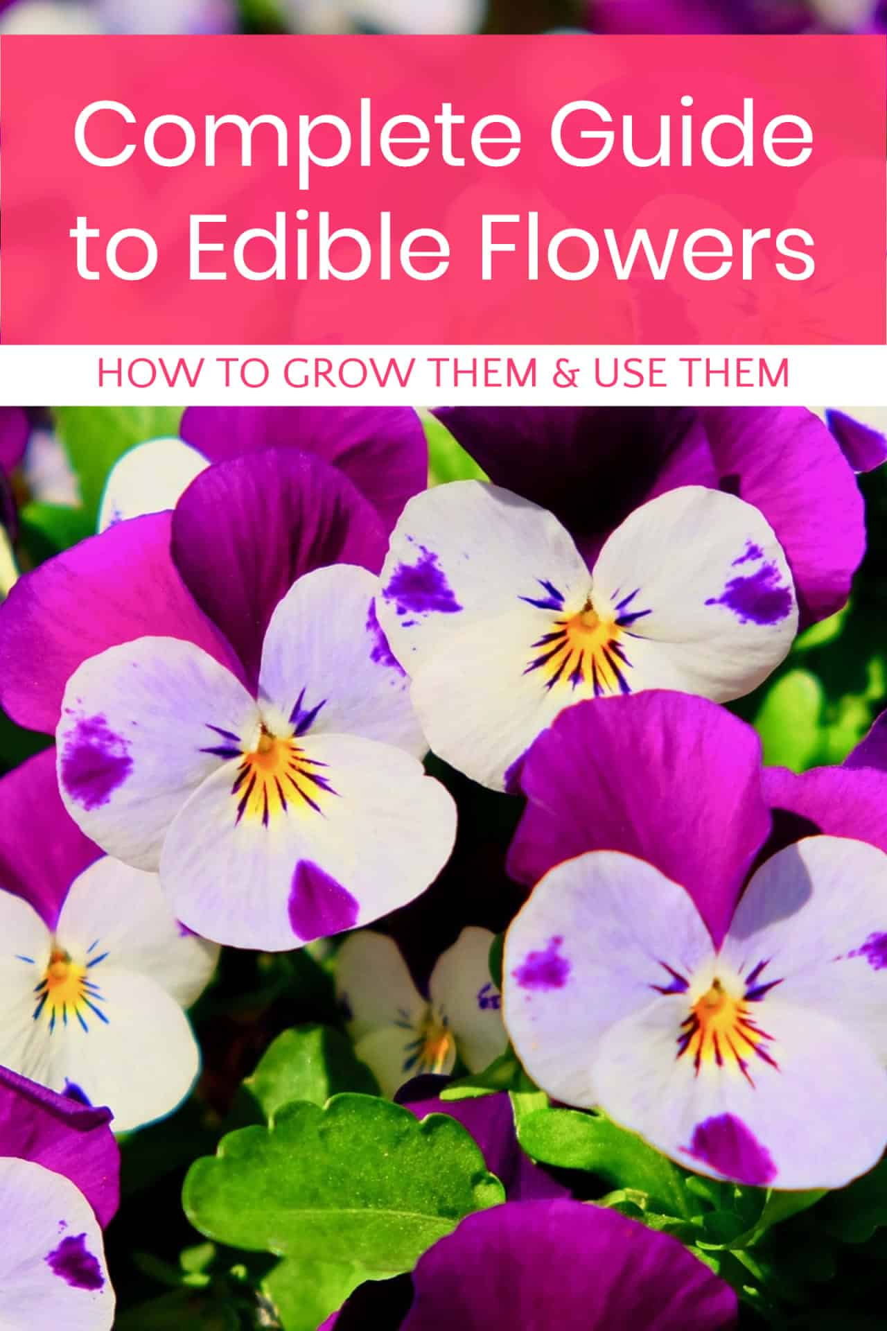 Working on planning your spring garden? Make sure you include some delicious edible flowers! Read on for a complete guide to everything you could ever possibly want to know about growing and using flowers that are as tasty as they are beautiful!