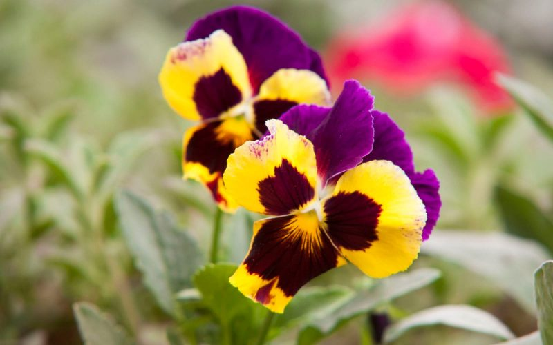 Pansies come in a range of colors and generally taste similar to grapes, which makes them perfect for garnish, salads and even cake decoration.
