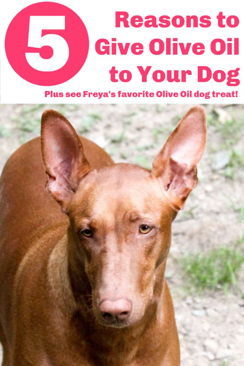 Is olive oil good for dogs? Turns out that many of the same reasons why you should add olive oil to your own diet also go for your dog, too! Read on to find out what they are, plus check out Freya\'s favorite way to get her daily dose of EVOO!