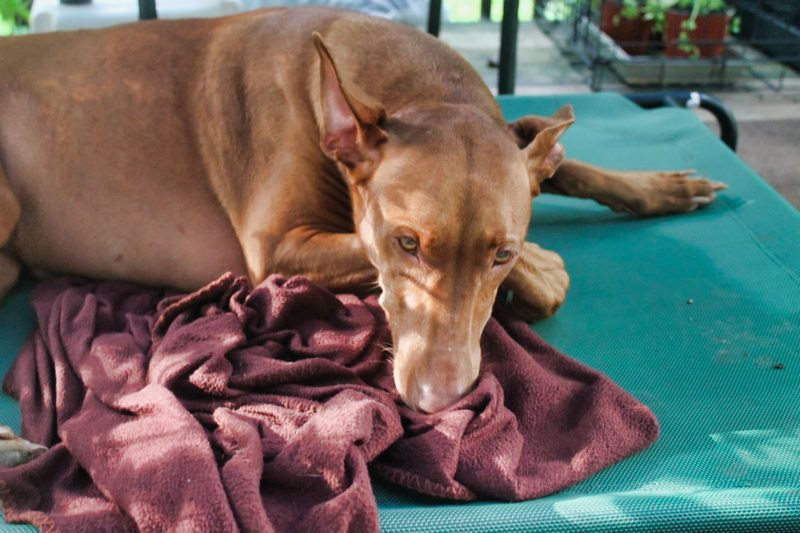 Frisco Steel-Framed Elevated Dog Bed Review: Is it a Good Buy?