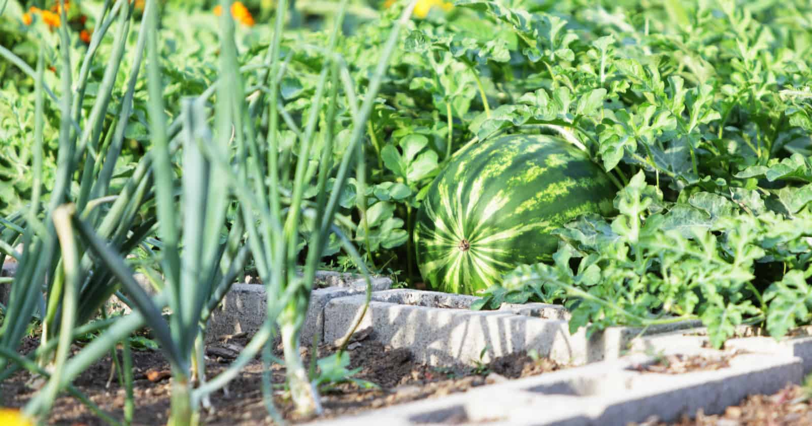 """If you looked at that title and thought, """"Ewww, that doesn't sound very classy!"""" then think again. Cinder blocks are actually incredibly versatile. With a little creativity, they make the perfect foundation for a raised garden bed."""