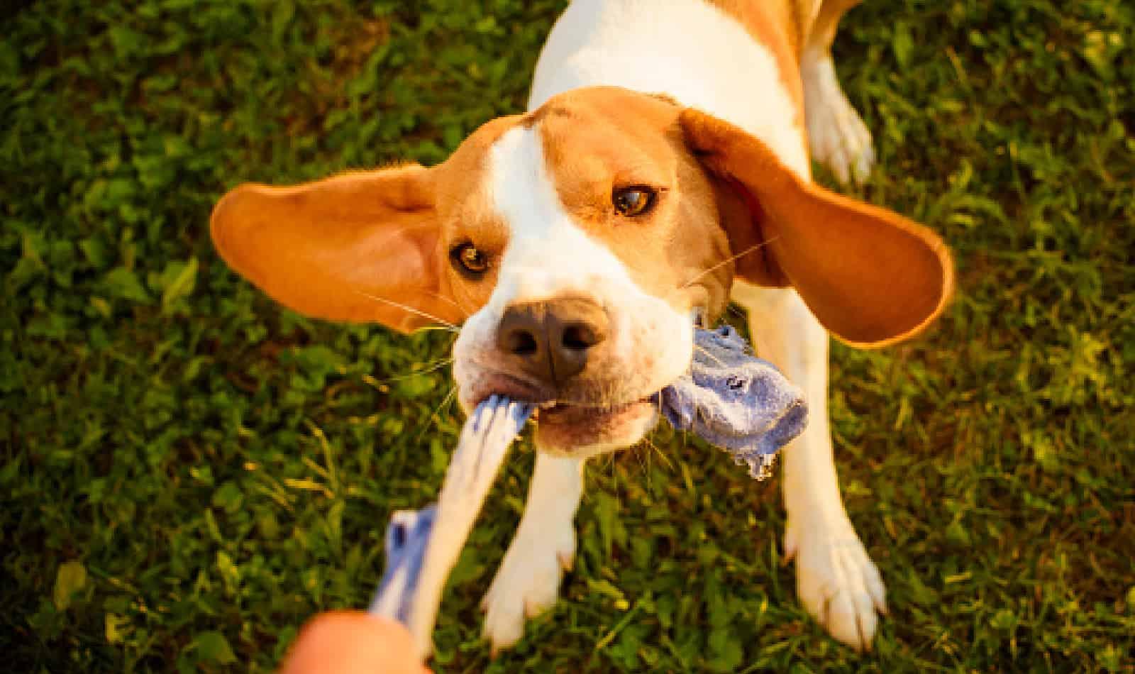 Dog sock tug toy