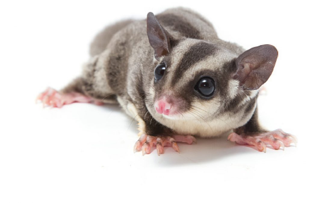 4 Things to Know Before Bringing a Sugar Glider into a Home with a Dog
