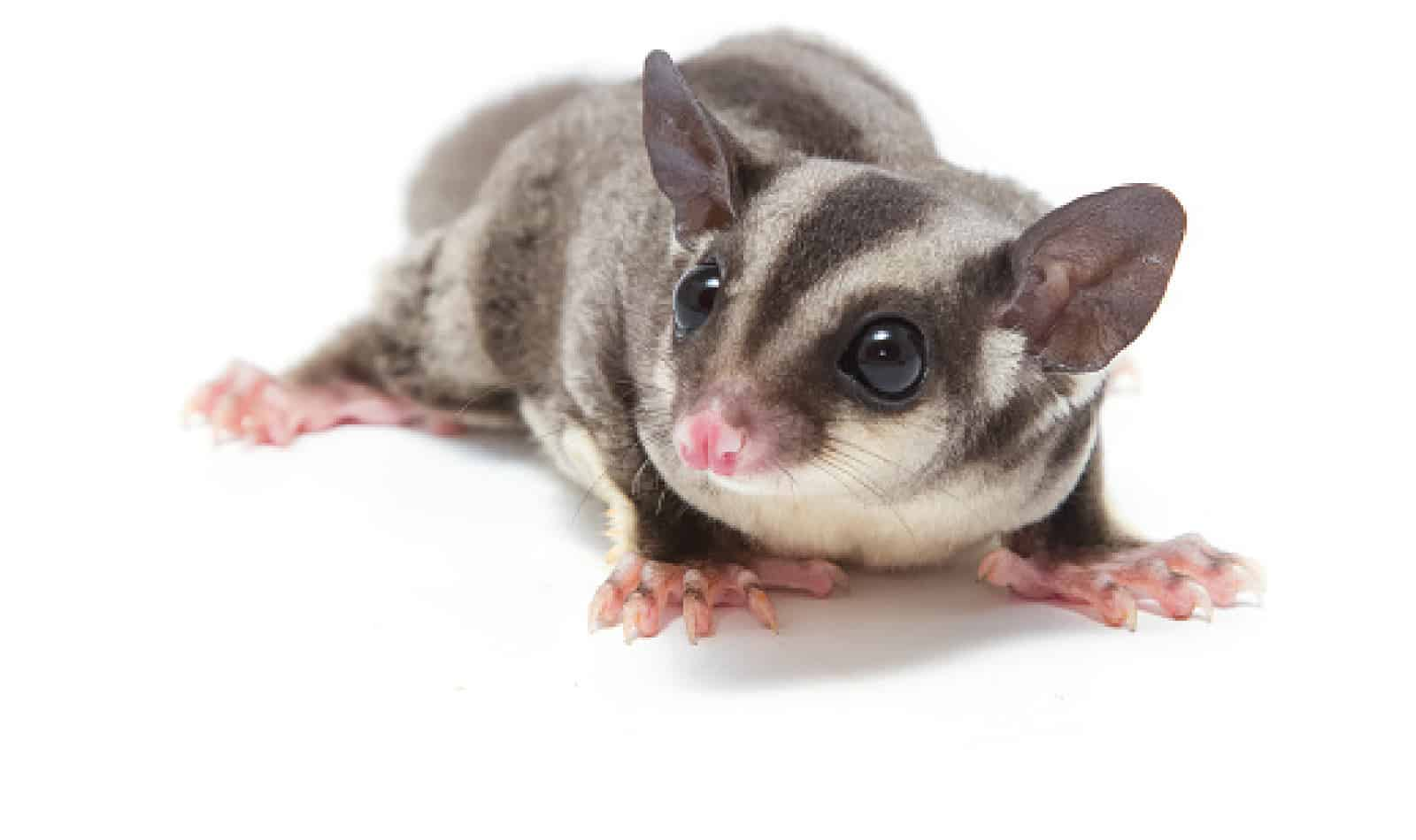 Can you have a sugar glider with a dog? Short answer, yes. HOWEVER, there are caveats as well as some things you need to know before bringing a glider into your dog-centric home. Learn more.
